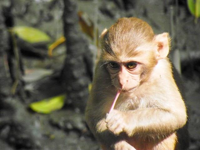 A monkey kid playing inside Sundarbans