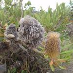 Banksias (107107)