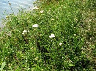 Krwawnik pospolity Achillea millefolium