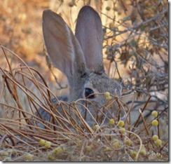 Cave Creek Regional Park - Bunny