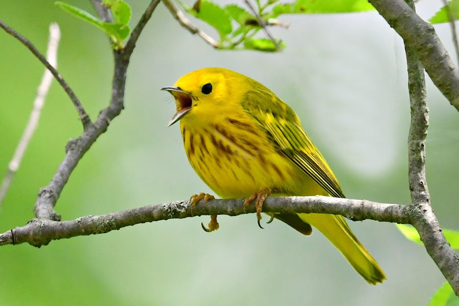 Yellow Warbler by Ruth Overmyer - Animals Birds (  )