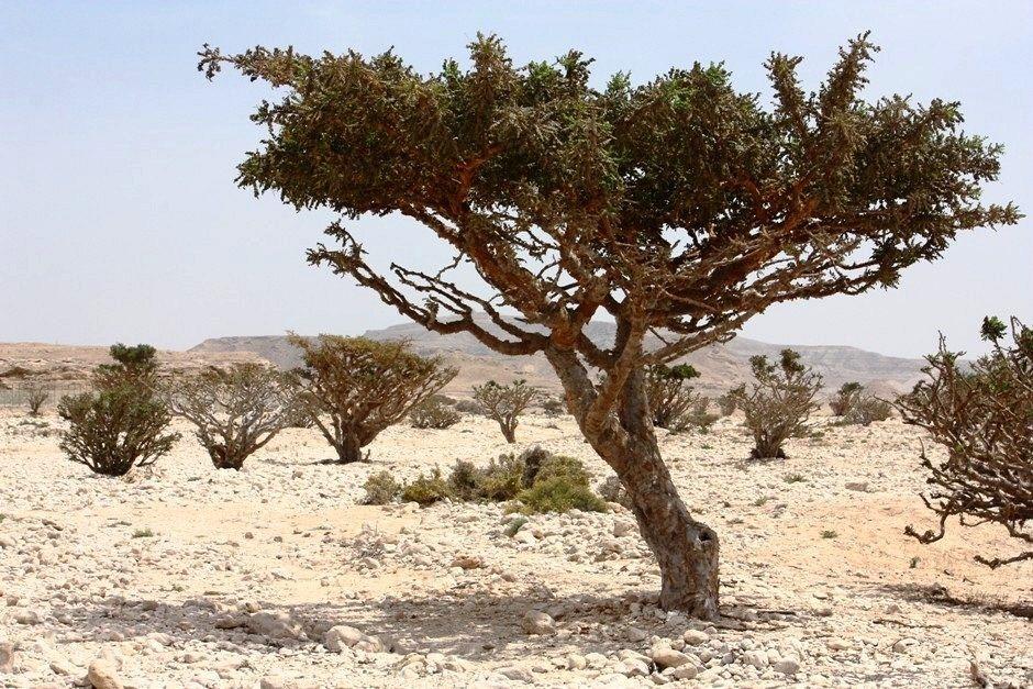 frankincense-wadi-dawkah-2