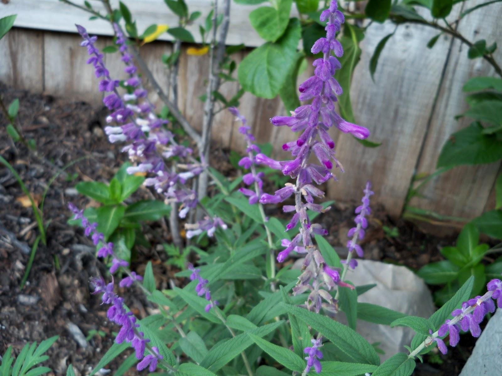 Gardening 2011 - 115_0455.JPG