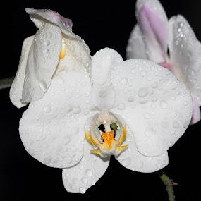 Phalaenopsis by Rizal Marsa - Uncategorized All Uncategorized (  )