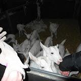 Bevers en Welpen- Lammetjes kijken - SAM_2359.JPG