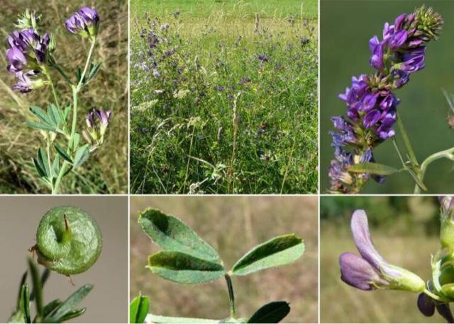 Kenali Tumbuhan Alfalfa, Alfalfa Complex Shaklee