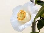 白色 一重 抱え〜椀咲き 太い筒しべ 中〜大輪