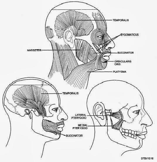 u5480 u56bc u808c masticatory muscles