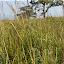 1.5 metra wysokie pola sawany