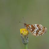 Mellicta athalia ROTTEMBURG, 1775, mâle. Les Hautes-Lisières (Rouvres, 28), 13 juin 2011. Photo : J.-M. Gayman