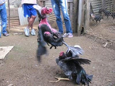 gallo africano 2.jpg