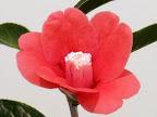 朱紅色 一重 筒咲き 葯退化白しべ侘芯 小輪