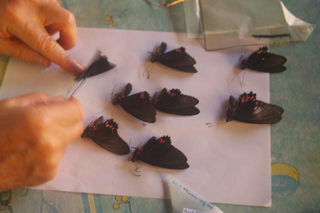 Divers Parides dont P. sesostris collectés à Crique Tortue, près de Saut Athanase (Guyane). 20 novembre 2011. Photo : J.-M. Gayman