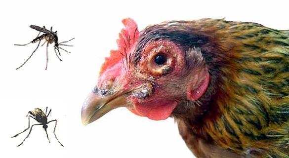Bệnh đậu gà và cách phòng trị - 567b8f4685b4d