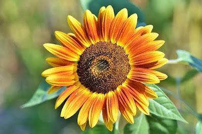 Sunflower information in Marathi