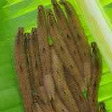 Chenilles grégaires de Caligo oileus oileus C. Felder & R. Felder, 1861, sur feuille de bananier. La Minga, Choachi, 2330 m (Cundinamarca, Colombie), 11 novembre 2015. Photo : J.-M. Gayman