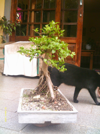 Ficus Microcarpa var. Indica... - Página 2 IMAG0177