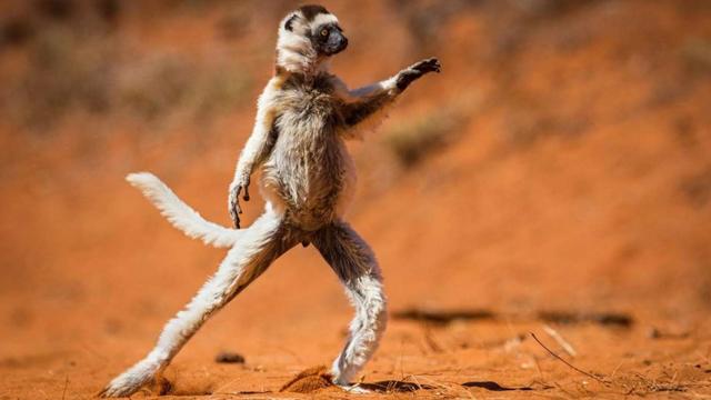 Vượn cáo đang nhảy múa - Tác giả: Alison Buttigieg.