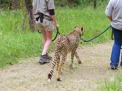On the Cheetah Walk at Wildlife Safari. The two trainers had our cheetah friend on a leash, with each person holding a leash. We would follow behind a couple yards away