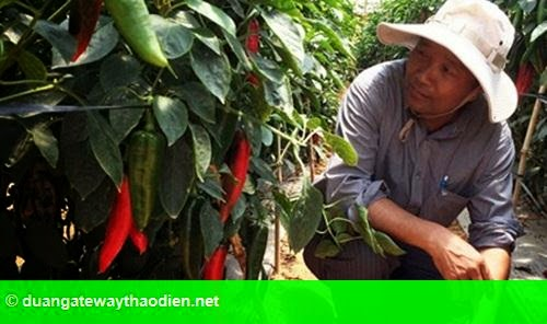 Hình 1: Xuất khẩu ớt sang Nhật Bản