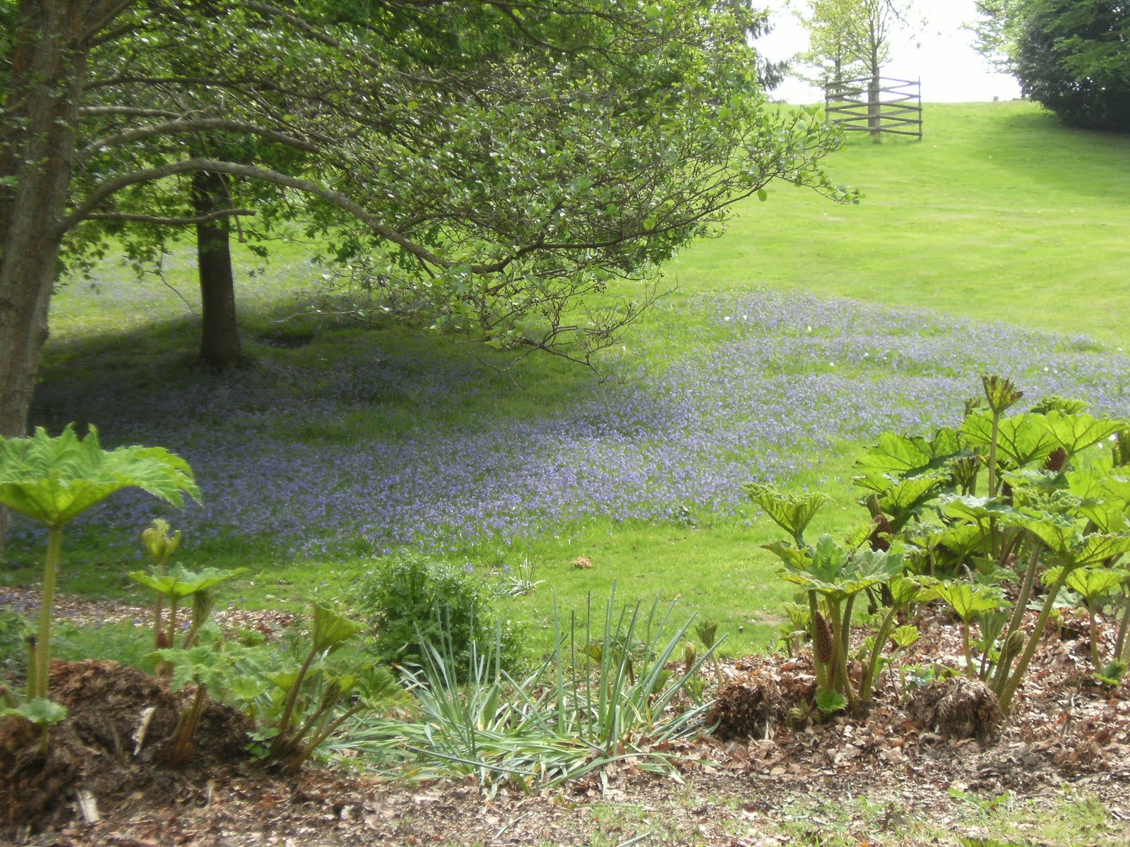 DSCF7813 Bluebells on the Buckhurst Estate