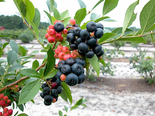 A New Blueberry for Home Growers