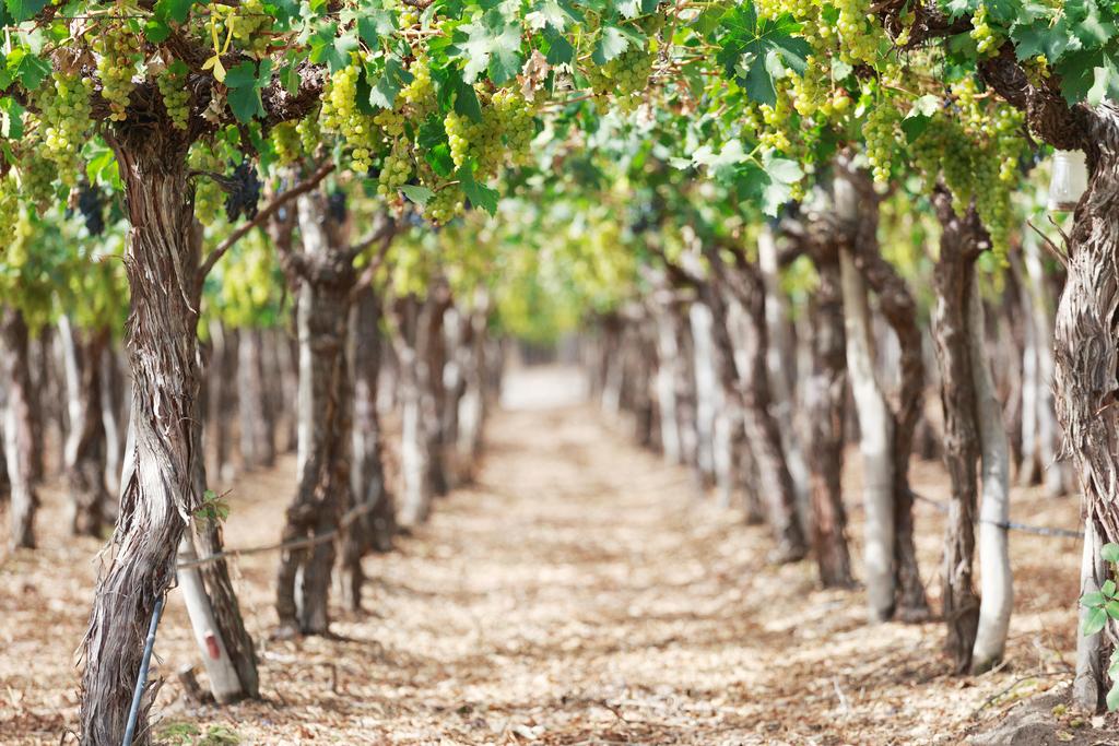 La Rioja Vineyard, Argentina