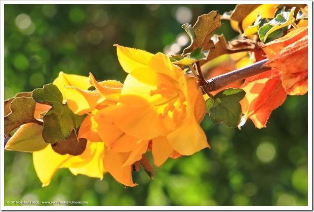 160321_SLOBG_0041_Fremontodendron-Pacific-Sunset