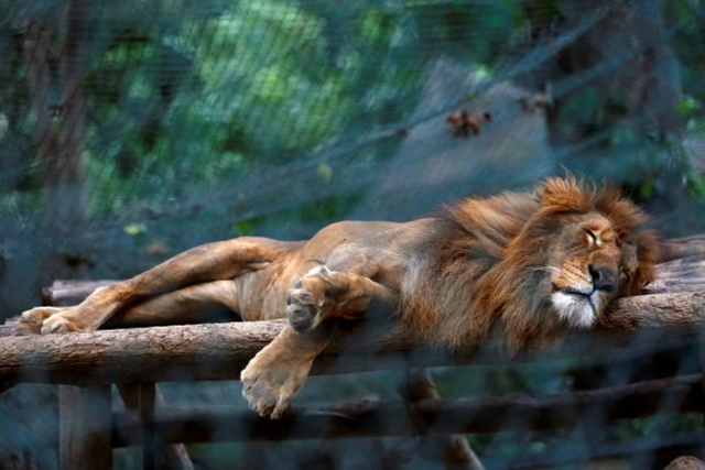 A lion sleeps inside a cage at the Caricuao Zoo in Caracas, Venezuela, 12 July 2016. Some 50 animals have starved to death in the first half of 2016 at one of Venezuela's main zoos. Photo: Carlos Jasso / Reuters