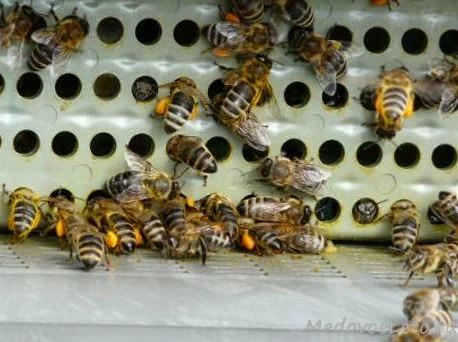 Пыльцесборник для сбора цветочной пыльцы.