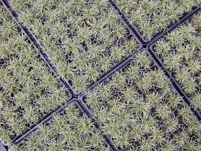 Carex albula (Liner)