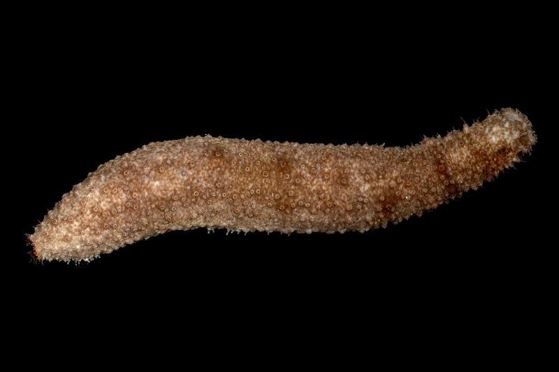 Holothuria fuscocinerea. Kosrae, Federated States of Micronesia.