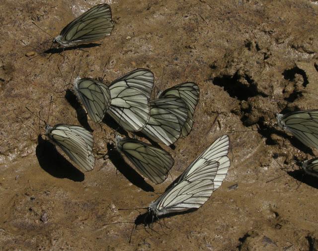 Leuconea (Aporia) crataegi LINNAEUS, 1758. Tigrovoy, 25 juin 2011. Photo : J. Michel