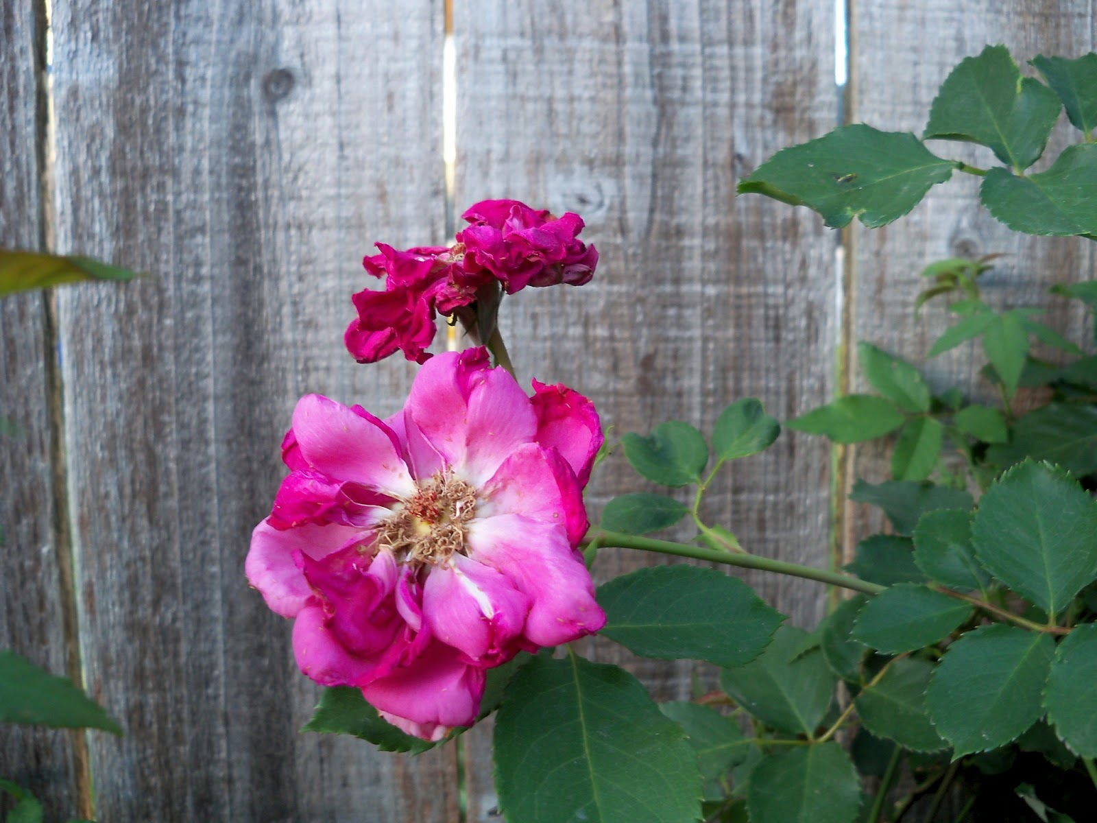 Gardening 2011 - 100_7698.JPG