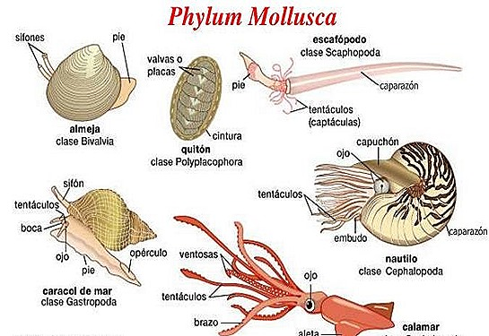 the phylum mollusca The phylum mollusca is a large, mainly marine group of invertebrates mollusks  show a variety of morphologies many mollusks secrete a.