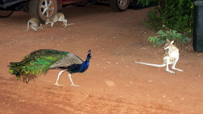 Peacock and Wallaby