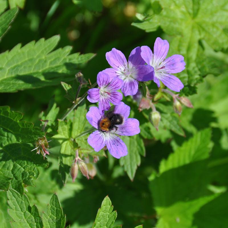 wild geranium with bumblebee