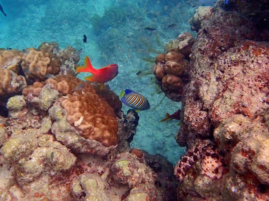 Pygoplites diacanthus (Regal Angelfish), Miniloc Island Resort reef, Palawan, Philippines.