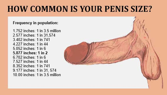 What is the average size of a male penis