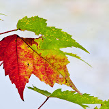 maple-leaves_MG_9610-copy.jpg