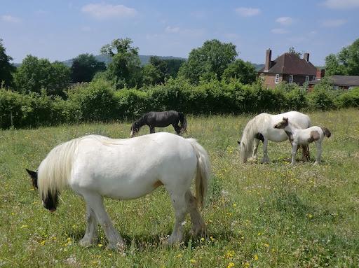 CIMG7458 Horses in meadow, Otford