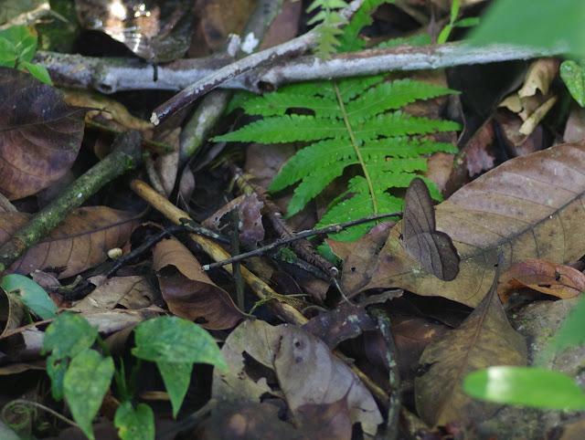 Pierella lamia chalybaea Godman, 1905. Bosque Bavaria (Villavicencio, Meta, Colombie), 9 novembre 2015. Photo : J.-M. Gayman