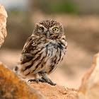 Mochuelo común (Little Owl)