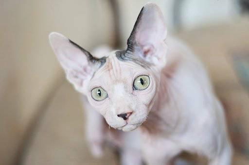 スフィンクス(猫)の写真