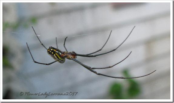 12-05-garden-spider