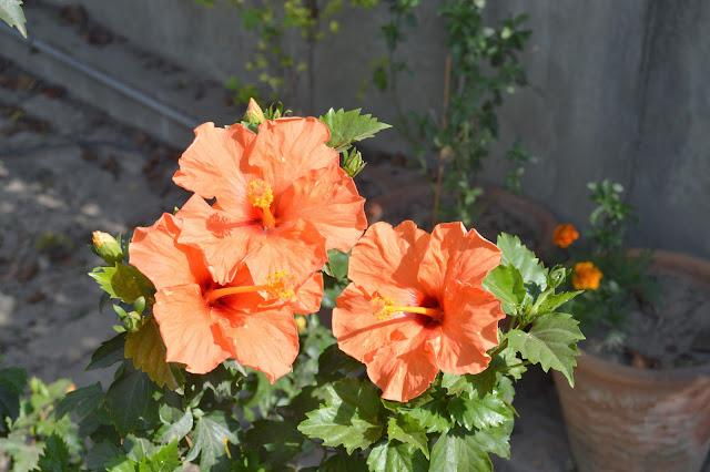 My Hibiscus Pakistan Gardening Forum