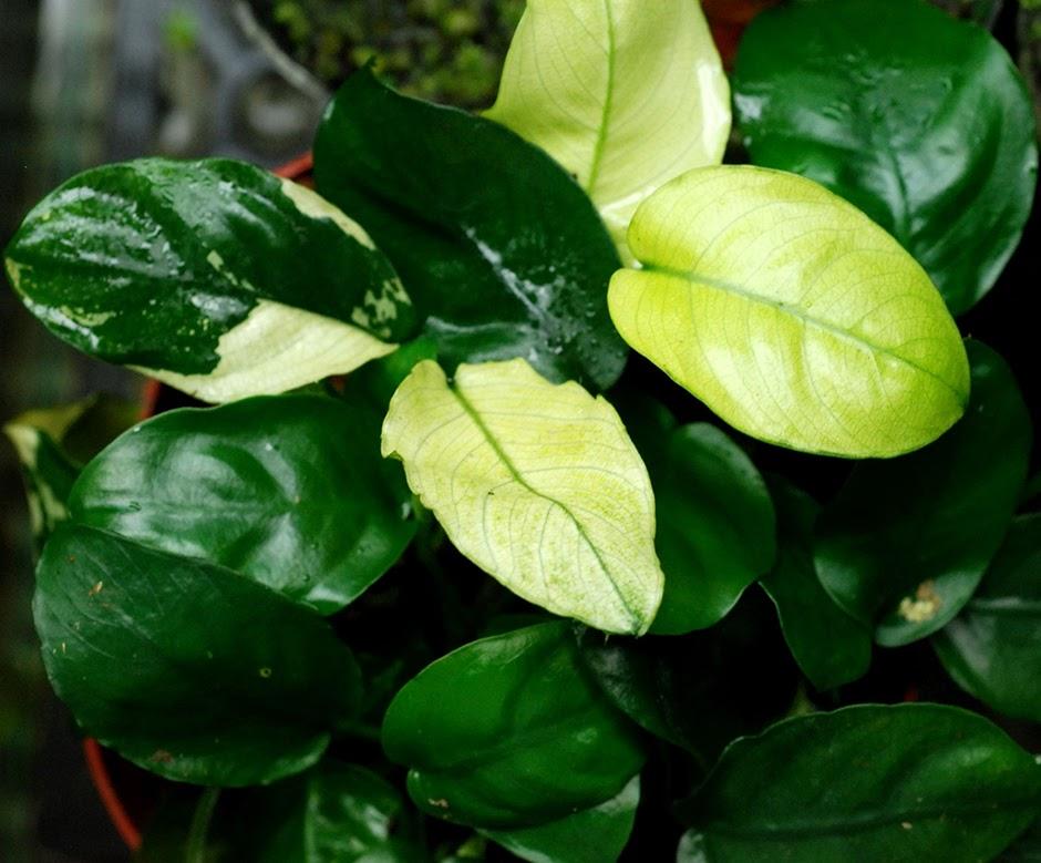 Анубиас карликовый (Анубиас нана) (Anubias barteri var. nana)