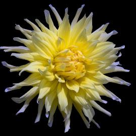 Dany Dalia by Joan Sharp - Flowers Single Flower ( white, yellow, dalia, flower )