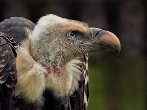 Griffon Vulture by John Powell EFIAP DPAGB BPE4