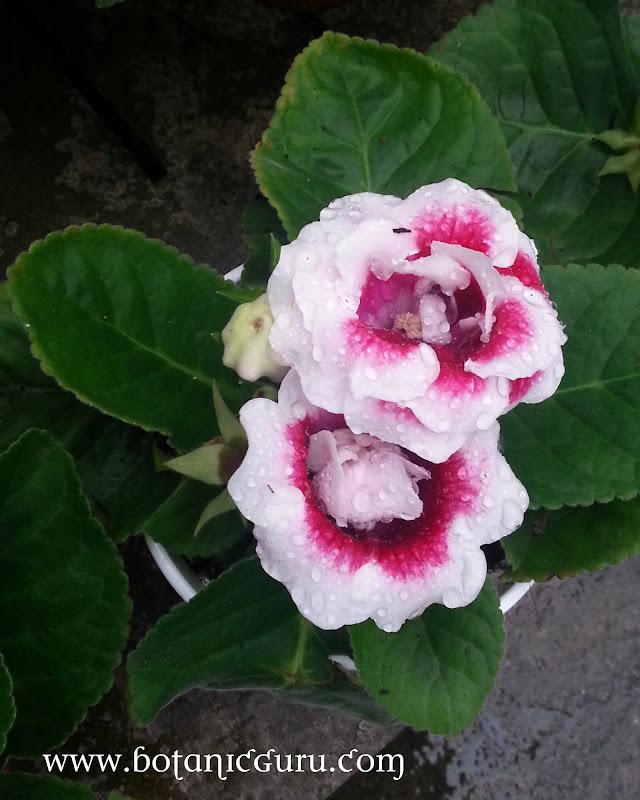 Sinningia speciosa, Brazilian Gloxinia